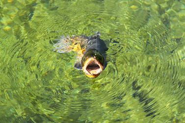 Pêche à la mouche - Meuse